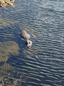 Sneaky Gator via KLWightman.com