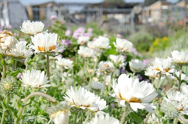 homeless-garden-santacruz-flower-kmcnickle