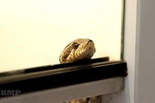 Westliche Hakennasennatter (Heterodon Nasicus)
