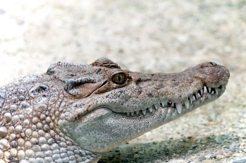 Philippinen-Krokodil (Crocodylus Mindorensis)
