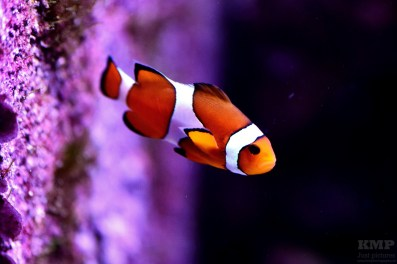 Clownfisch