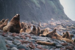 Steller sea lions in the Alaska Maritime National Wildlife Refuge. U.S. Fish and Wildlife Service Headquarters/Flickr