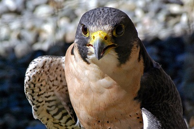 Falcons Fly in for International Migratory Bird Day