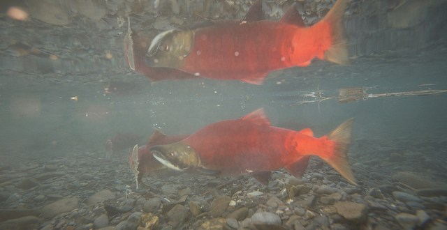 Department Releases More Detail About Cook Inlet Fish in Kodiak Waters