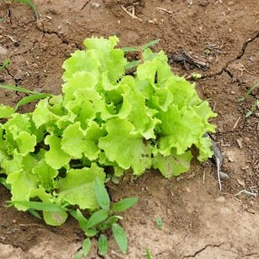 Leafy lettuce. Think it may almost be time for the coffee grounds!