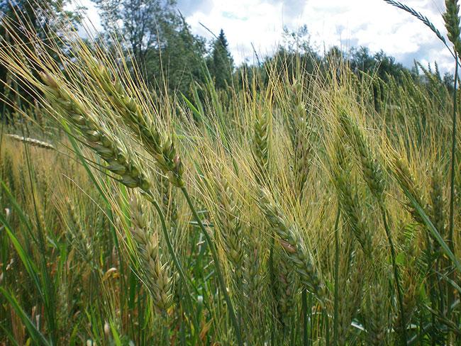 Maine Grain Alliance in Skowhegan gets $50,000 grant