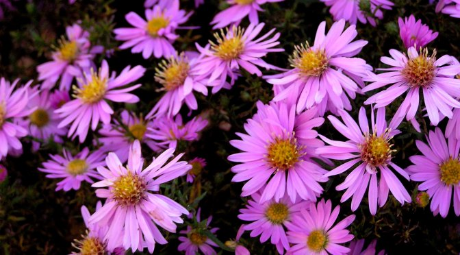 Patience Pays off with Asters