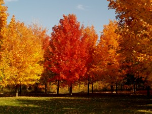 Fall Sugar Maples