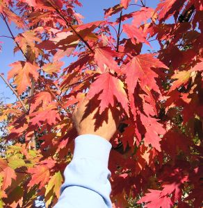 Firefall Maple