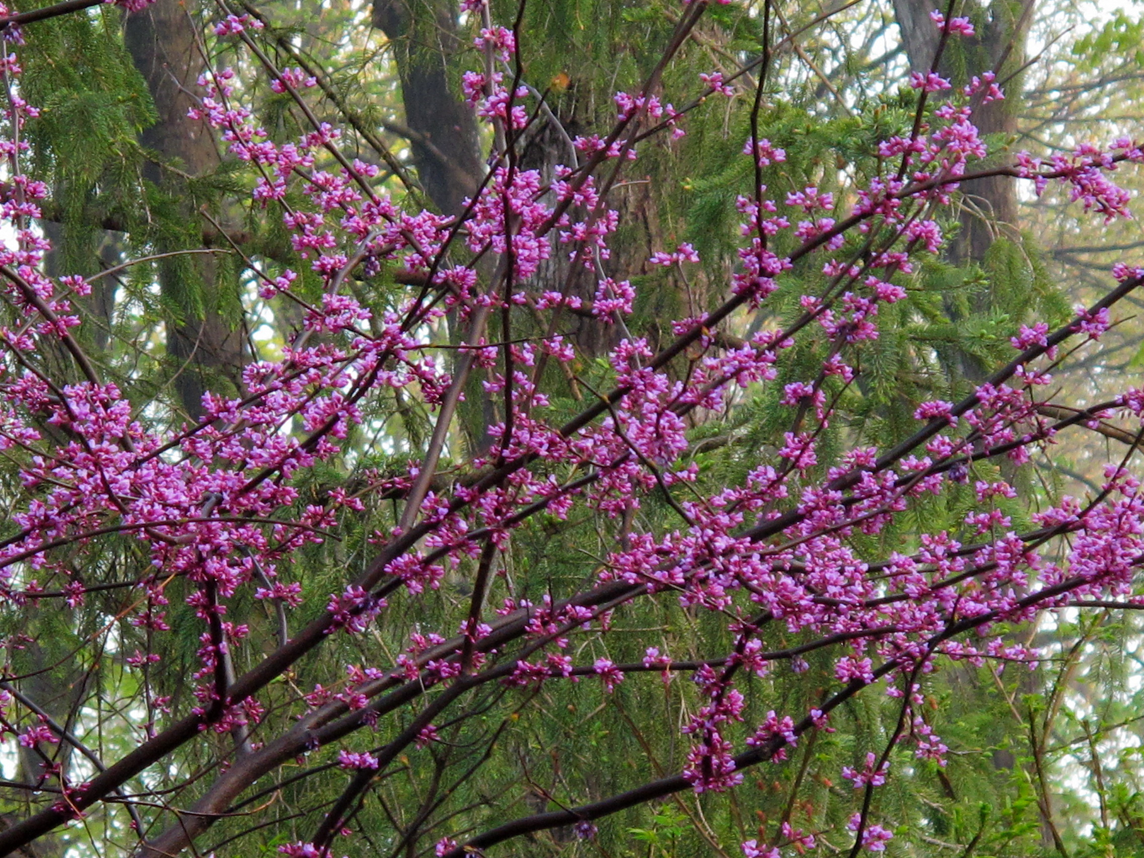 My Favorite Early Spring Flowering Trees Shrubs Knechts