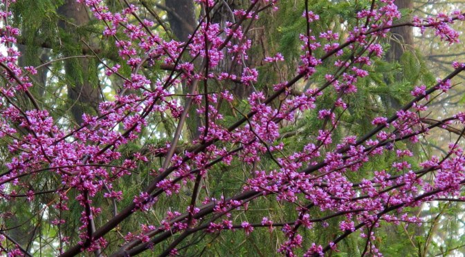 Regal Redbuds Blossoming Now