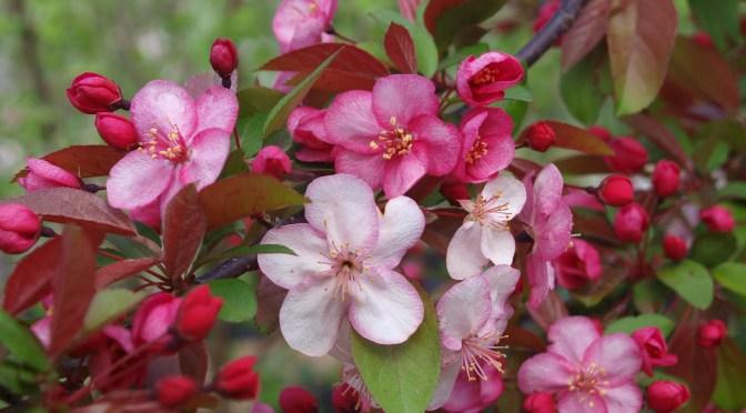 Flowering crabapple trees
