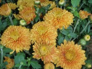 Rust Fall Blooming Mums