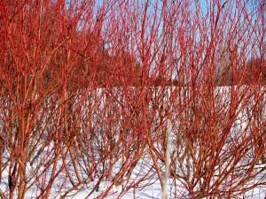 Red twig Dogwood Winter