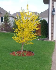 Forsythia - Tree form