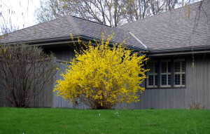 Forsythia - Shrub form