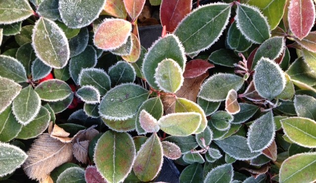 Evergreen and Semi-Evergreen Perennial Groundcovers