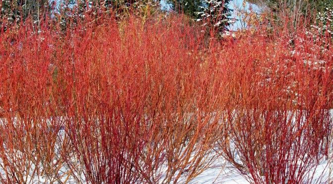 Cardinal red twig dogwood knecht 39 s nurseries landscaping for Red twig dogwood