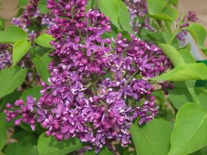 Sensation Lilac