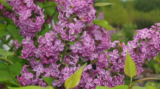 Lilac Time!