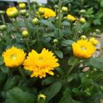 Yellow Fall Blooming Mum
