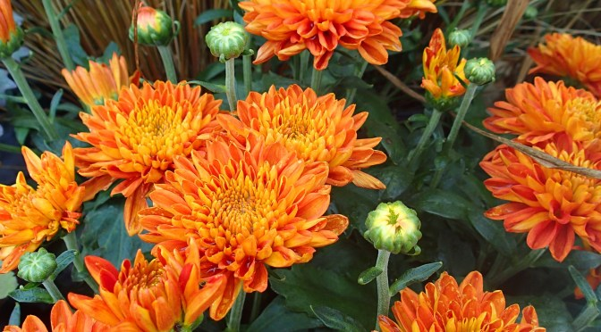 Mums: Early Planting a Late Blooming Beauty