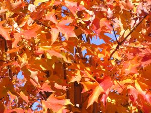 Plant Now for Fabulous Fall Color