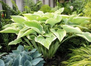 Hosta_of_the_Year--element12