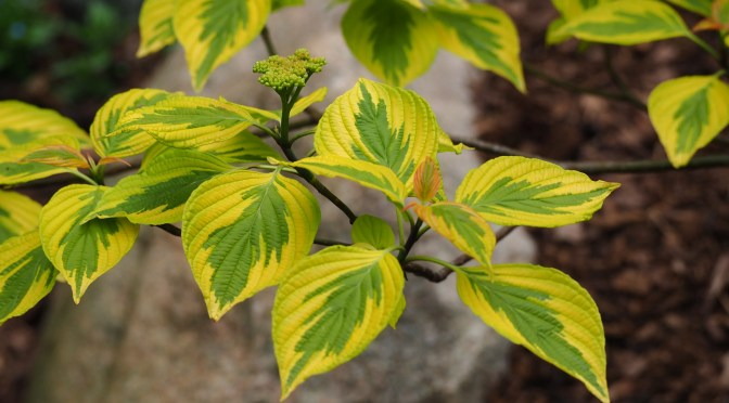 Golden Shadows Pagoda Dogwood