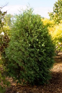 Technito Arborvitae, Photo courtesy Bailey Nurseries