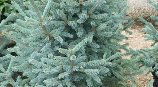 Paul's Select Norway Spruce