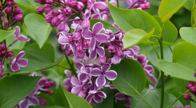 don't forget the lilacs!
