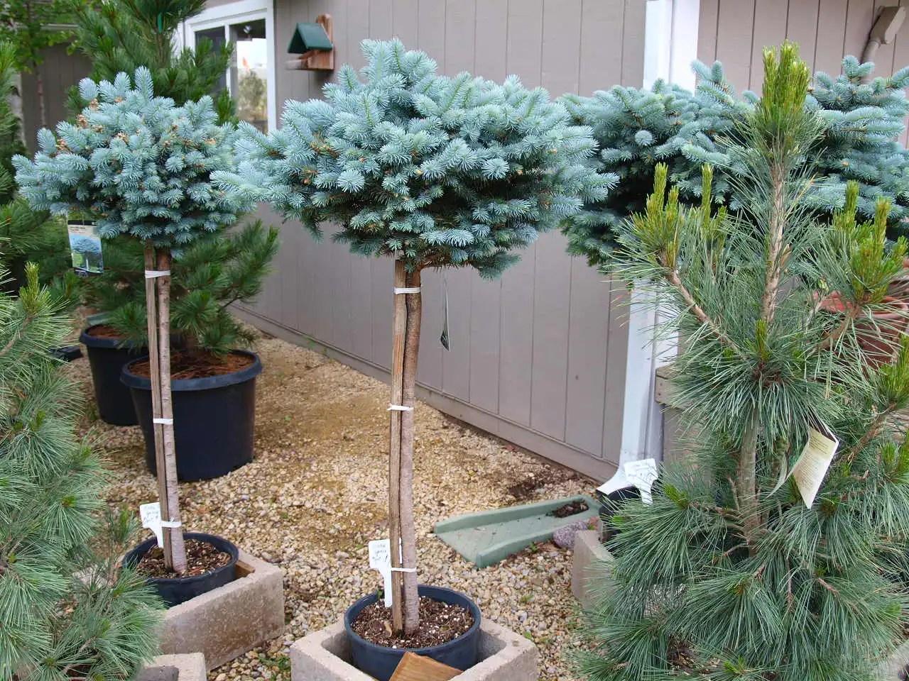 Dwarf Globe Blue Spruce Trees - Knecht's Nurseries ...