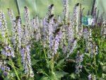 Salvia Crystal Blue, Meadow Sage