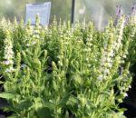 Salvia Sensation White, Meadow Sage