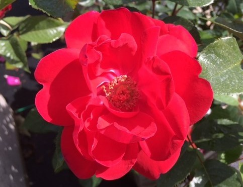 What's Doing the Blooming? Hardy Shrub Roses
