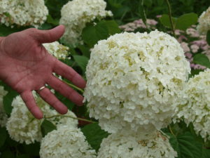 Incrediball Hydrangea Blossom