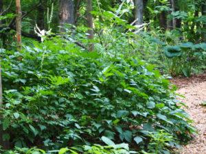 Cimicifugia racemosa