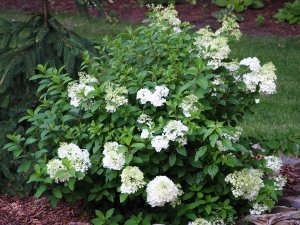 Hydrangeas are in Bloom