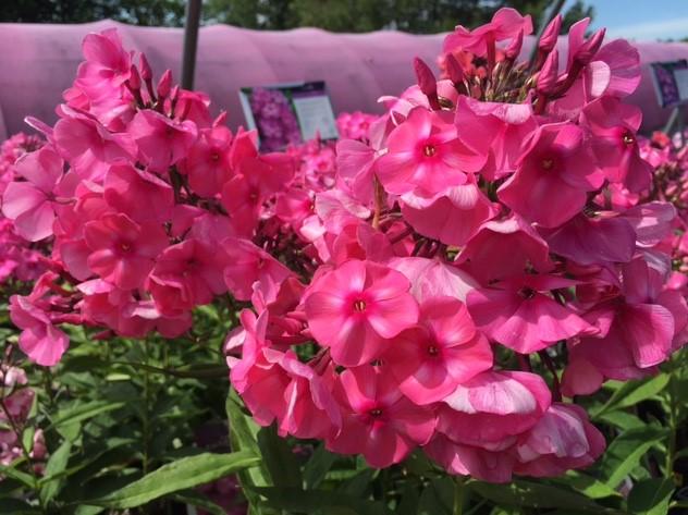 tall garden phlox bubblegum pink - Tall Garden Phlox