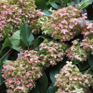 Late Season Limelight Hydrangea