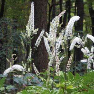 Cimicifuga blooms