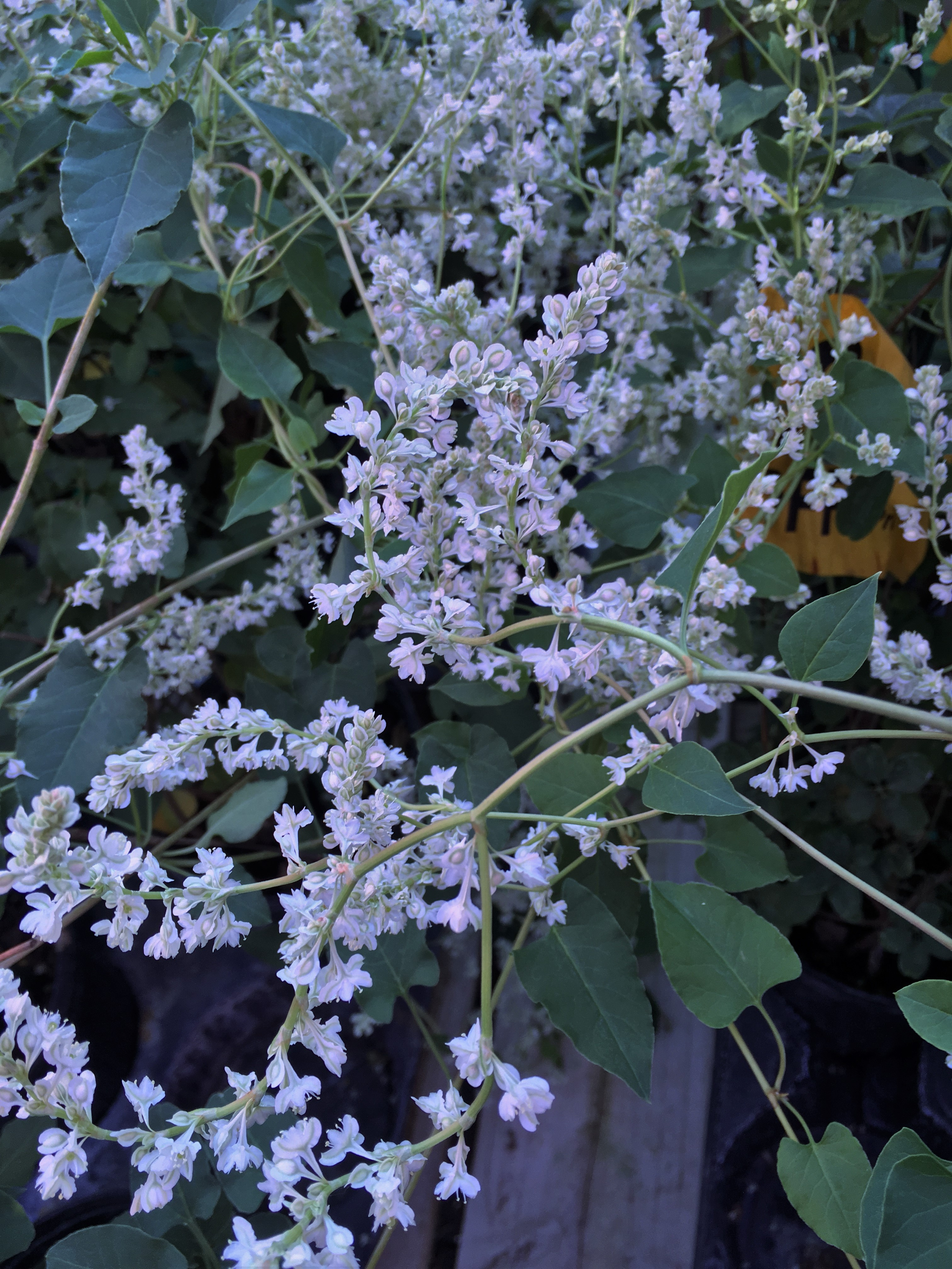 Whats Doing the Blooming Silver Lace Vine Knechts Nurseries