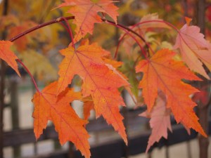 Fall Color of the Armstrong Gold Maple