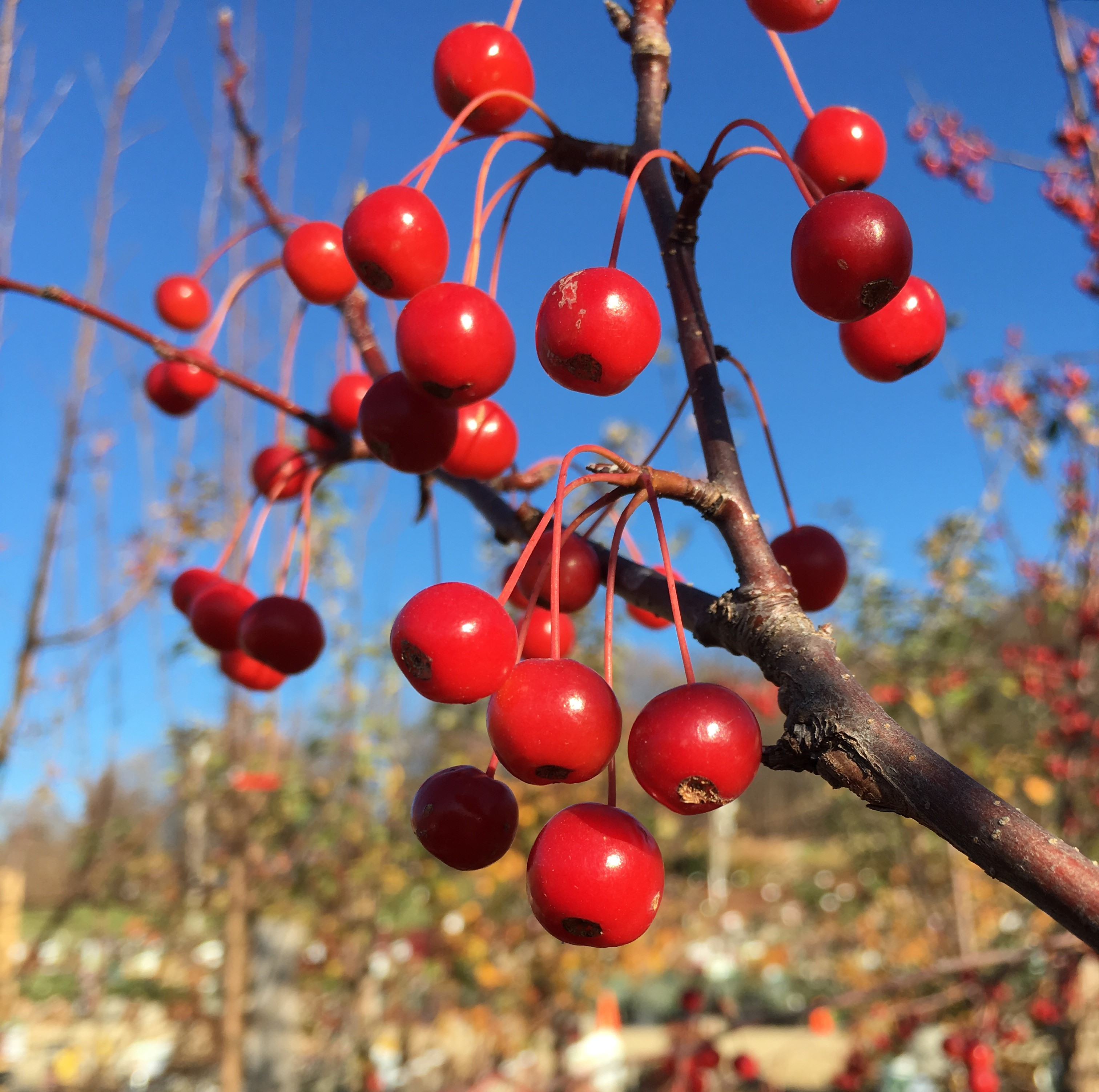 How to Prune a Cherry Tree. In this Article: Article Summary Heading Your Tree Creating a Scaffold Whorl Pruning a Mature Tree Community Q&A 11 References Pruning a cherry tree is necessary to create the right conditions for the tree to bear beautiful fruit year after year.