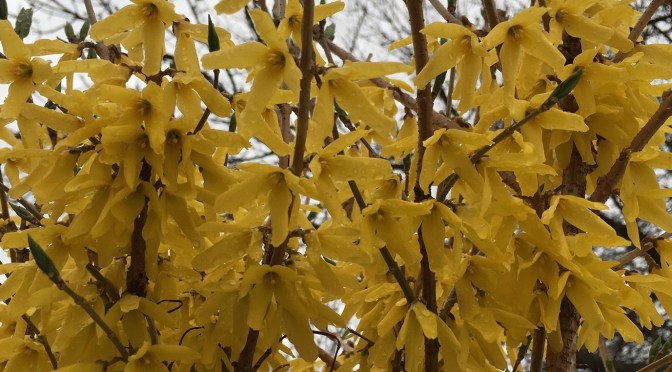 Forsythia, 'Northern Gold'