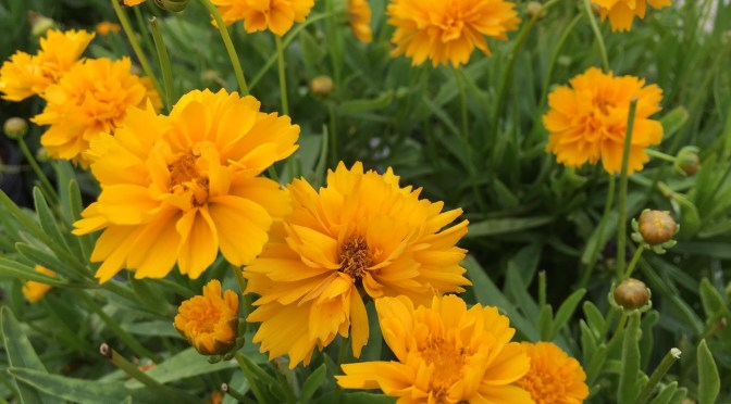 Tickseed, Coreopsis 'Early Sunrise'