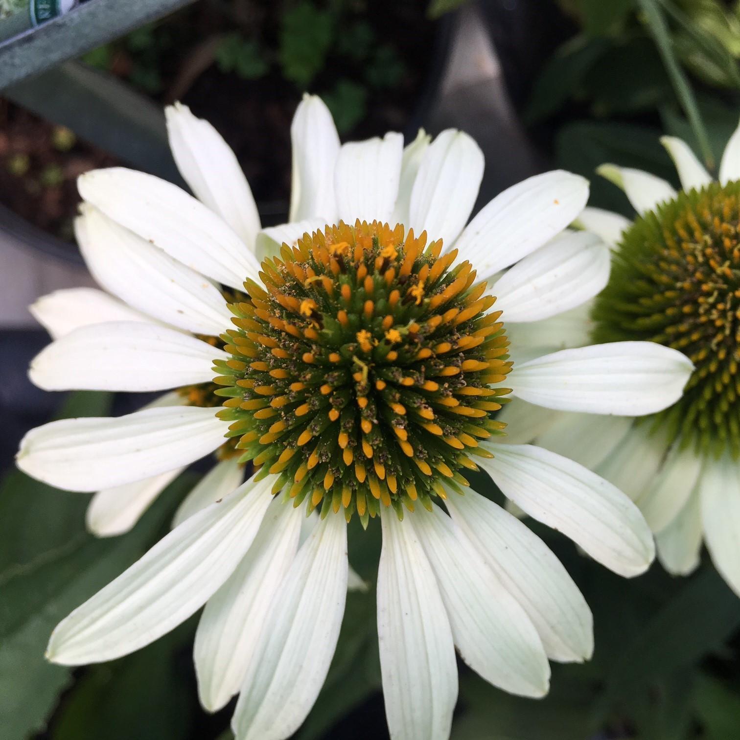 echinacea coneflower knecht 39 s nurseries landscaping. Black Bedroom Furniture Sets. Home Design Ideas