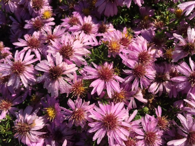 Perennials for sun archives knecht 39 s nurseries landscaping for Perennial wood