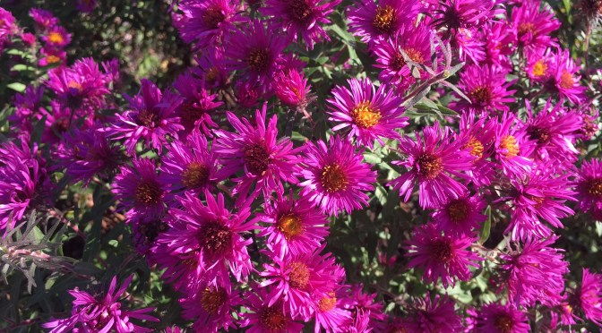 Asters in Autumn